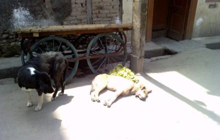 Photo 1: These pictures are from 2 June 2012 from downtown Srinagar where a dog investigates its poisoned brother, and walks away. The name of the photographer is being withheld on request.